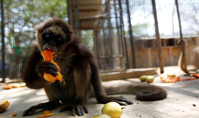A spider monkey eats a mango at the Paraguana zoo in Punto Fijo