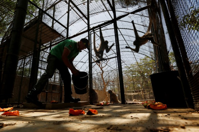 A worker puts papaya on the floor for the spider monkeys, at the Paraguana zoo in Punto Fijo
