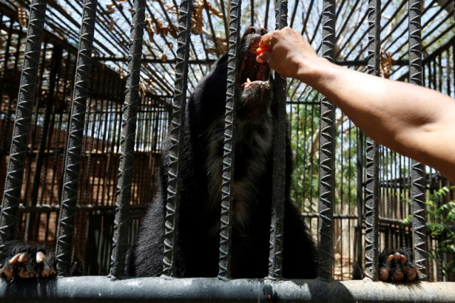 An employee gives papaya to an Andean bear at the Paraguana zoo in Punto Fijo, Venezuela